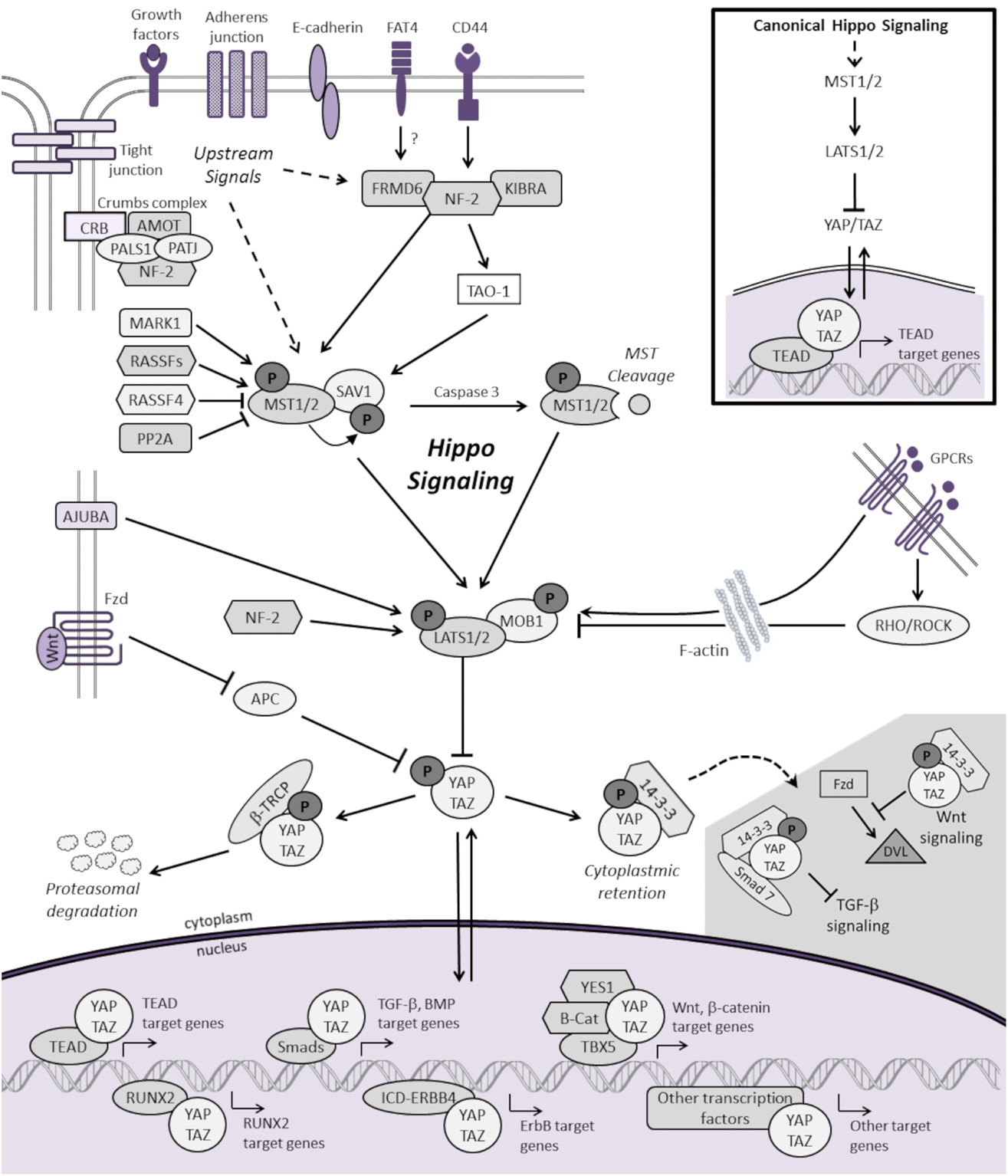 Frontiers A Review Molecular Aberrations Within Hippo Signaling White Blood Cell Diagram For Kids Of Vifsee 3 Figure 1 Schematic Representation