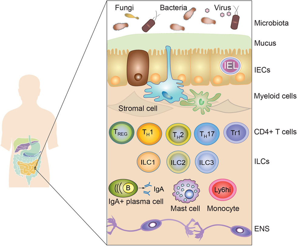 Human gut microbiota and healthy aging: Recent developments and future prospective