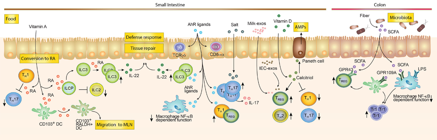 Immune System And Gastrointestinal >> Frontiers Breast Milk And Solid Food Shaping Intestinal Immunity