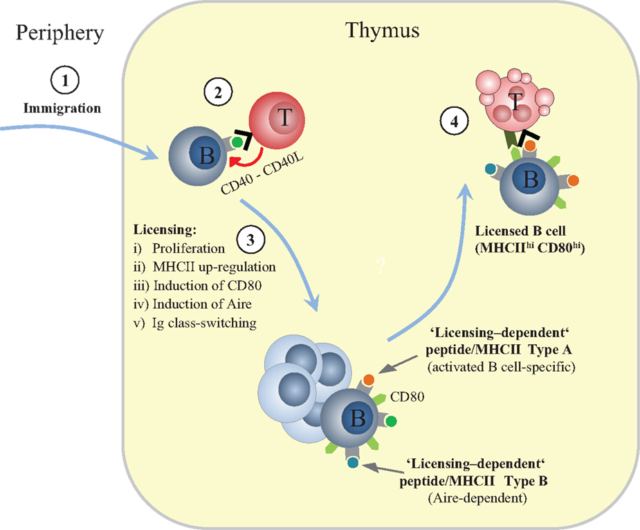 Frontiers Thymic B Cells And Central T Cell Tolerance Immunology