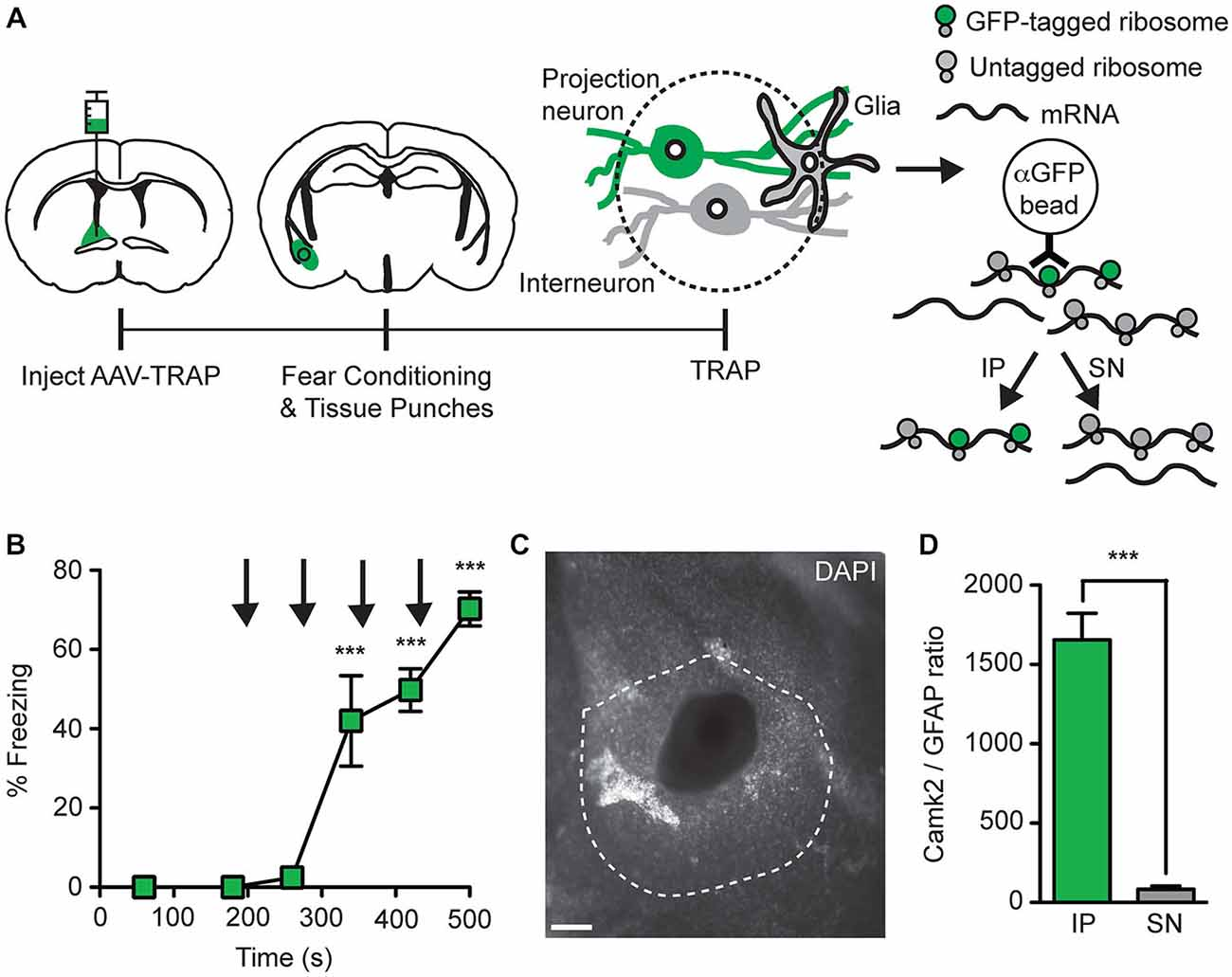 fnmol 08 00056 g006 frontiers a retrograde adeno associated virus for collecting