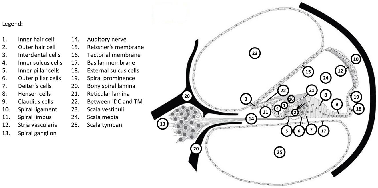 Frontiers the genetics of deafness in domestic animals frontiersin pooptronica