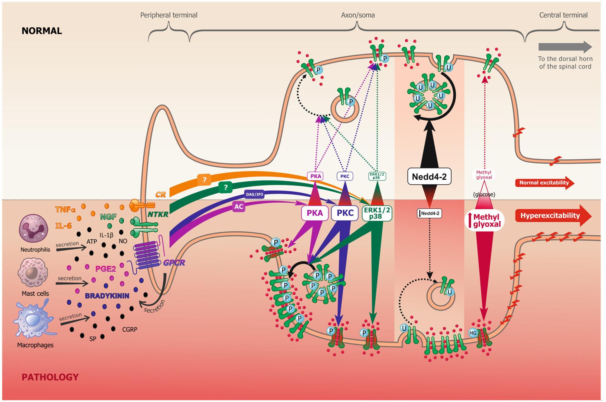 Motor Neuron Excitability Define Motor Neuron Impremedia