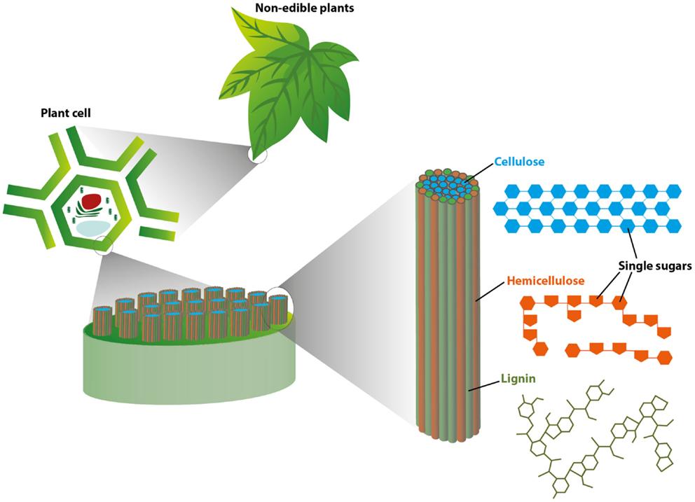 איור 1 - איור זה מציג את המבנה הבסיסי של רקמות צמחים, החל מרמת העלה (מלמעלה: צמחים בלתי אכילים) ובתקריב אל תוך רמת התא (משמאל: תא צמחי).
