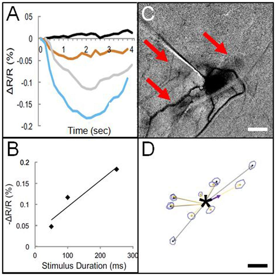 Frontiers | In Vivo Mapping of Cortical Columnar Networks in