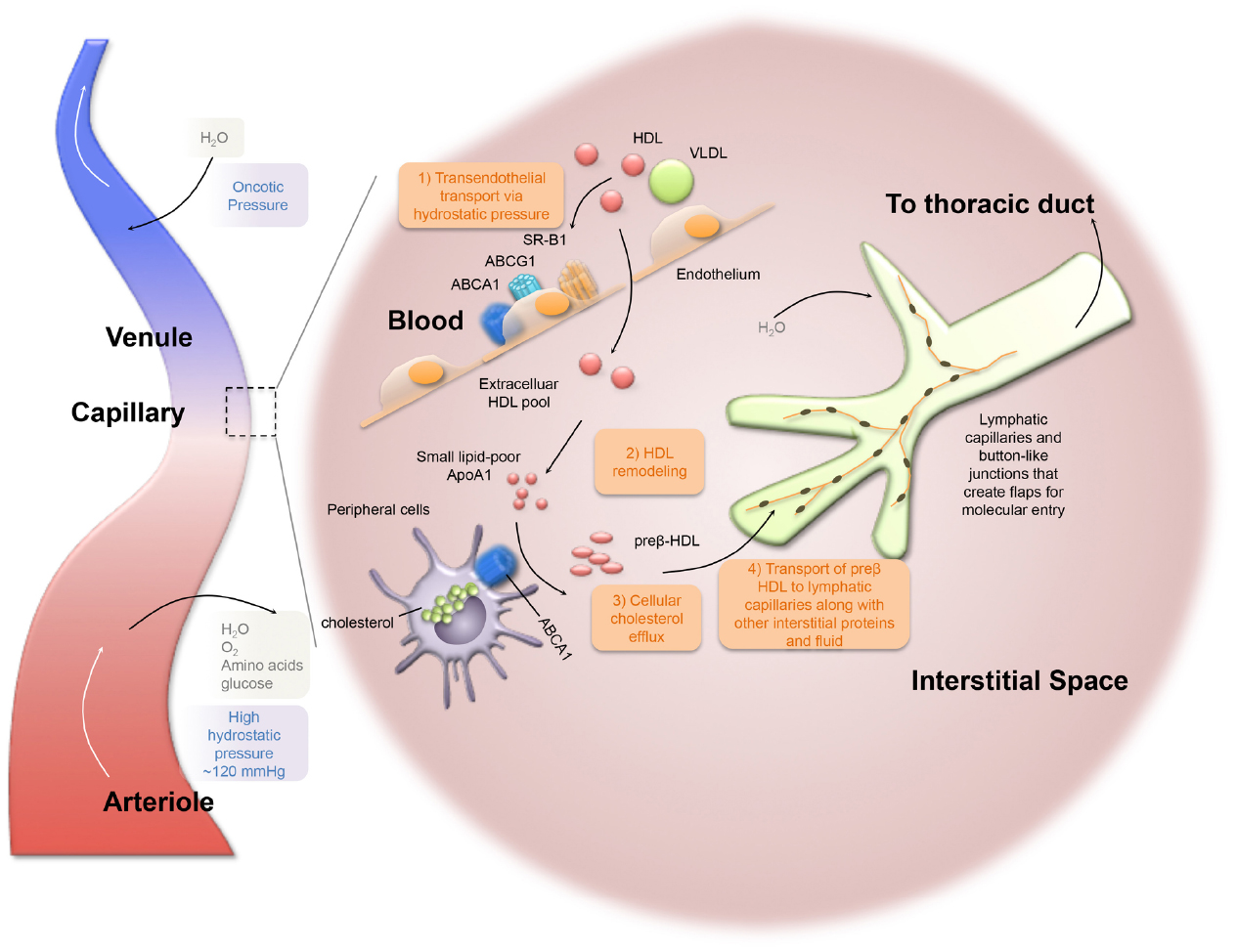 Frontiers The Role Of The Lymphatic System In Cholesterol