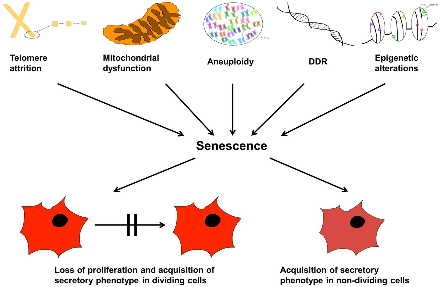 Frontiers Cellular Senescence As The Causal Nexus Of