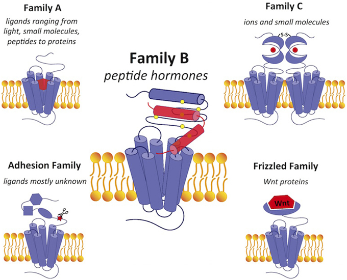 A For Alpha B For Beta >> Frontiers | Transmembrane signal transduction by peptide hormones via family B G protein-coupled ...