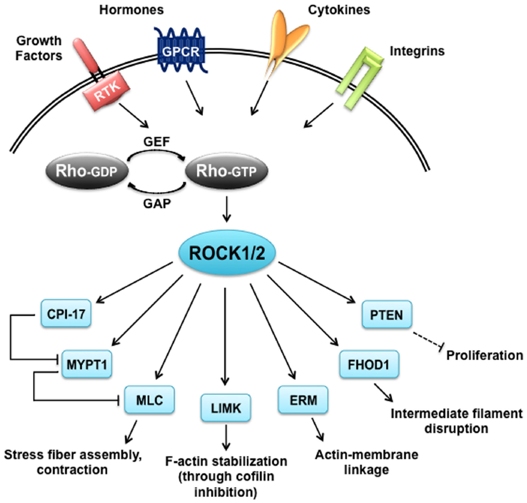 Frontiers | The Function of Rho-Associated Kinases ROCK1 ...