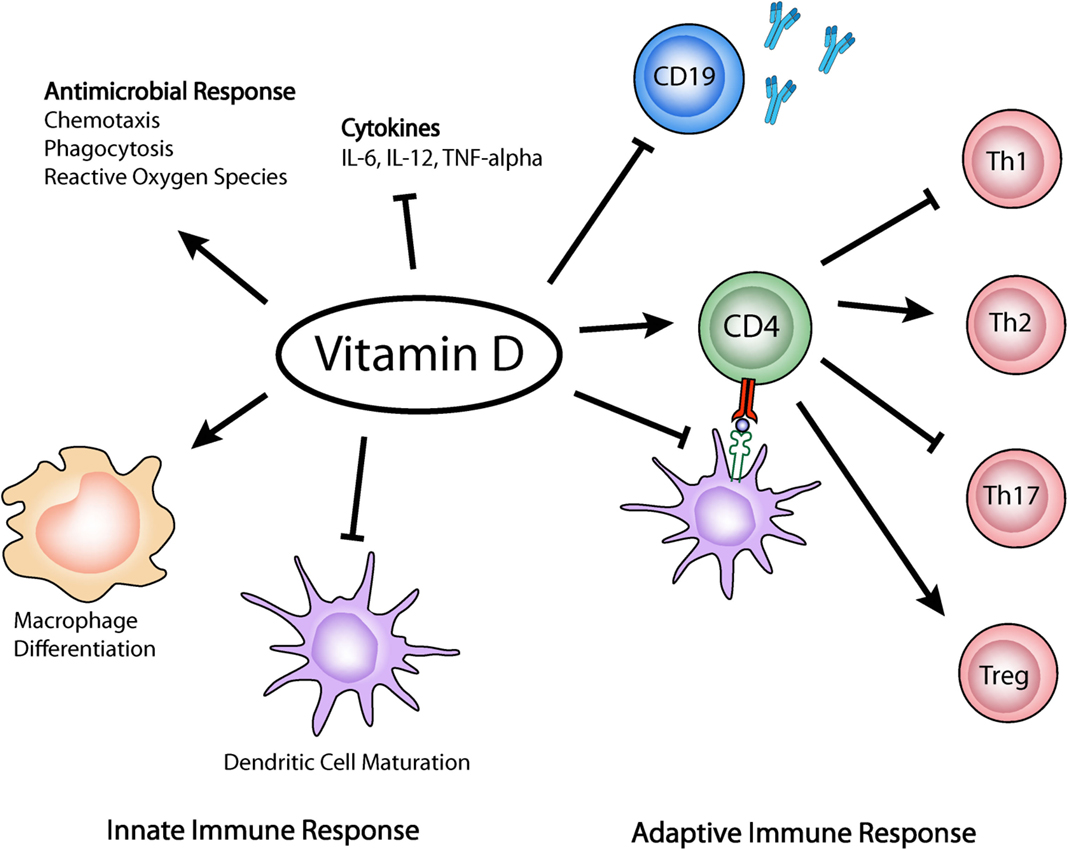 Frontiers | Immune Response Modulation by Vitamin D: Role ...