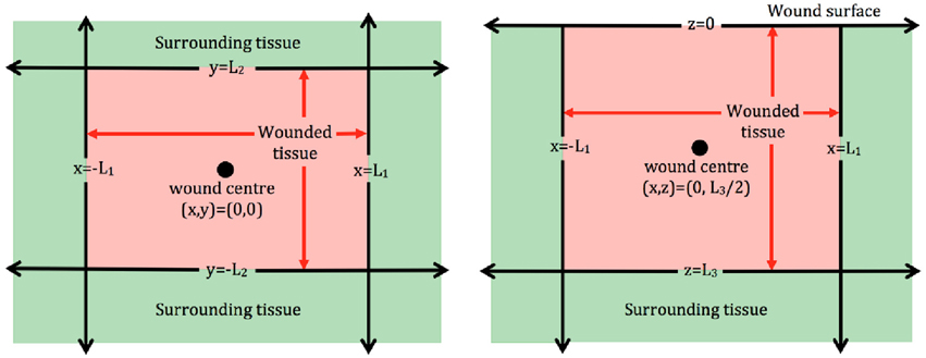 Frontiers | On the mathematical modeling of wound healing