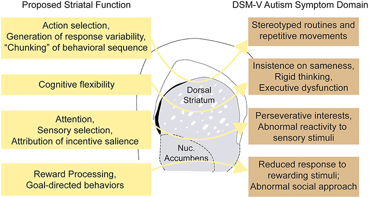 Frontiers | Striatal Circuits as a Common Node for Autism ...