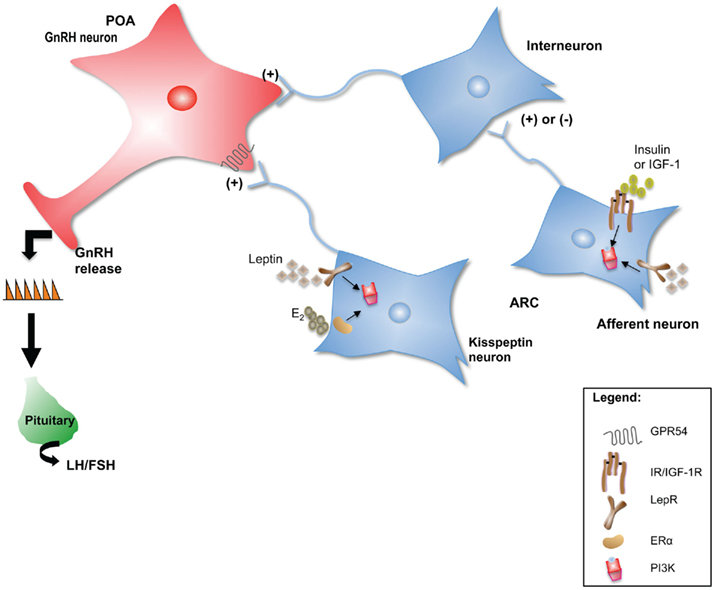 Kisspeptin Gnrh Neurons: PI3K: An Attractive Candidate For The Central