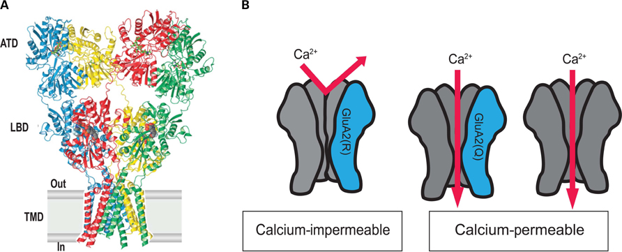 frontiers the essential role of ampa receptor glur2 subunit rna