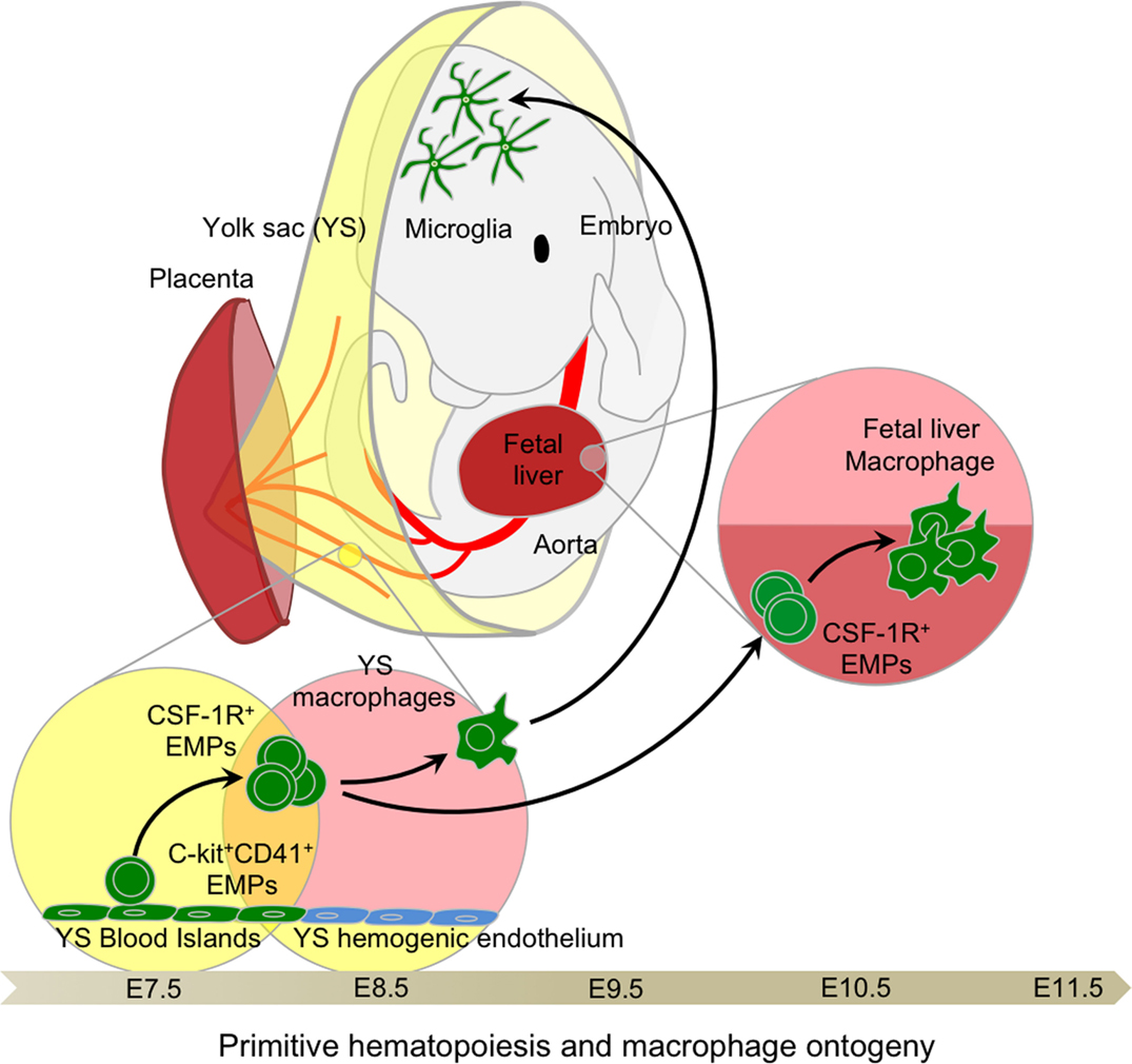 Frontiers   Ontogeny of Tissue-Resident Macrophages ...  Frontiers   Ont...