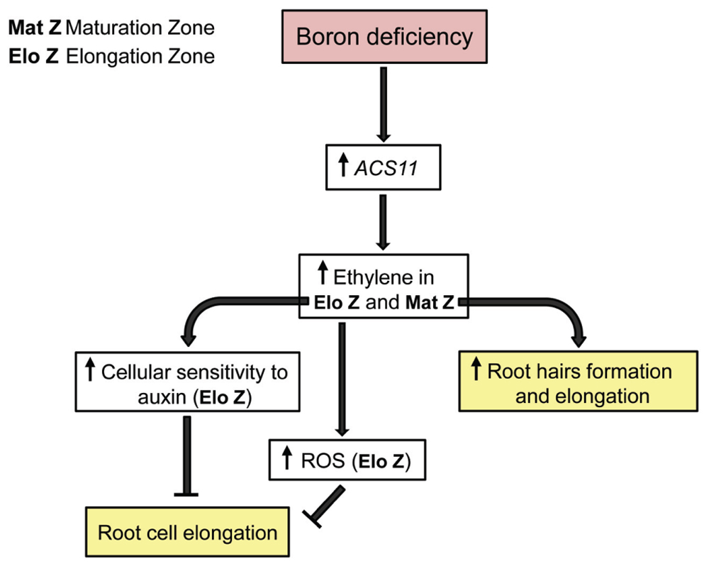 Frontiers root responses to boron deficiency mediated by ethylene frontiersin ccuart Gallery