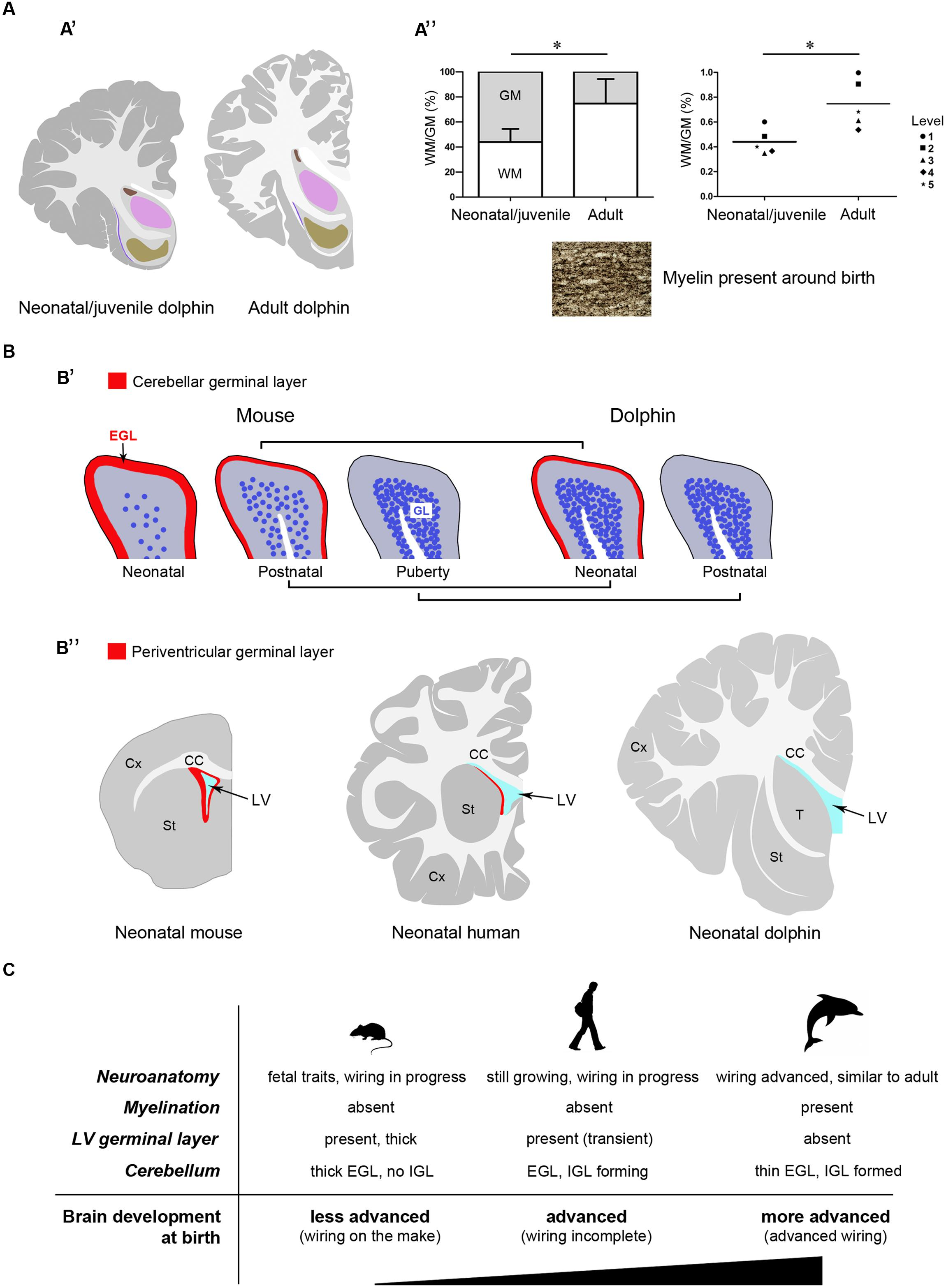 Frontiers | Forebrain neuroanatomy of the neonatal and juvenile ...