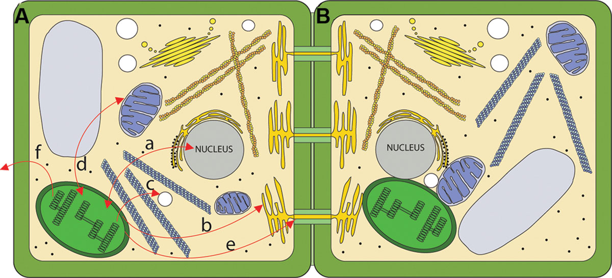 frontiers chloroplast signaling within between and beyond cells rh frontiersin org Plant Epidermal Cell Organelles Diagram Plant Cell Organelles Diagram Labels