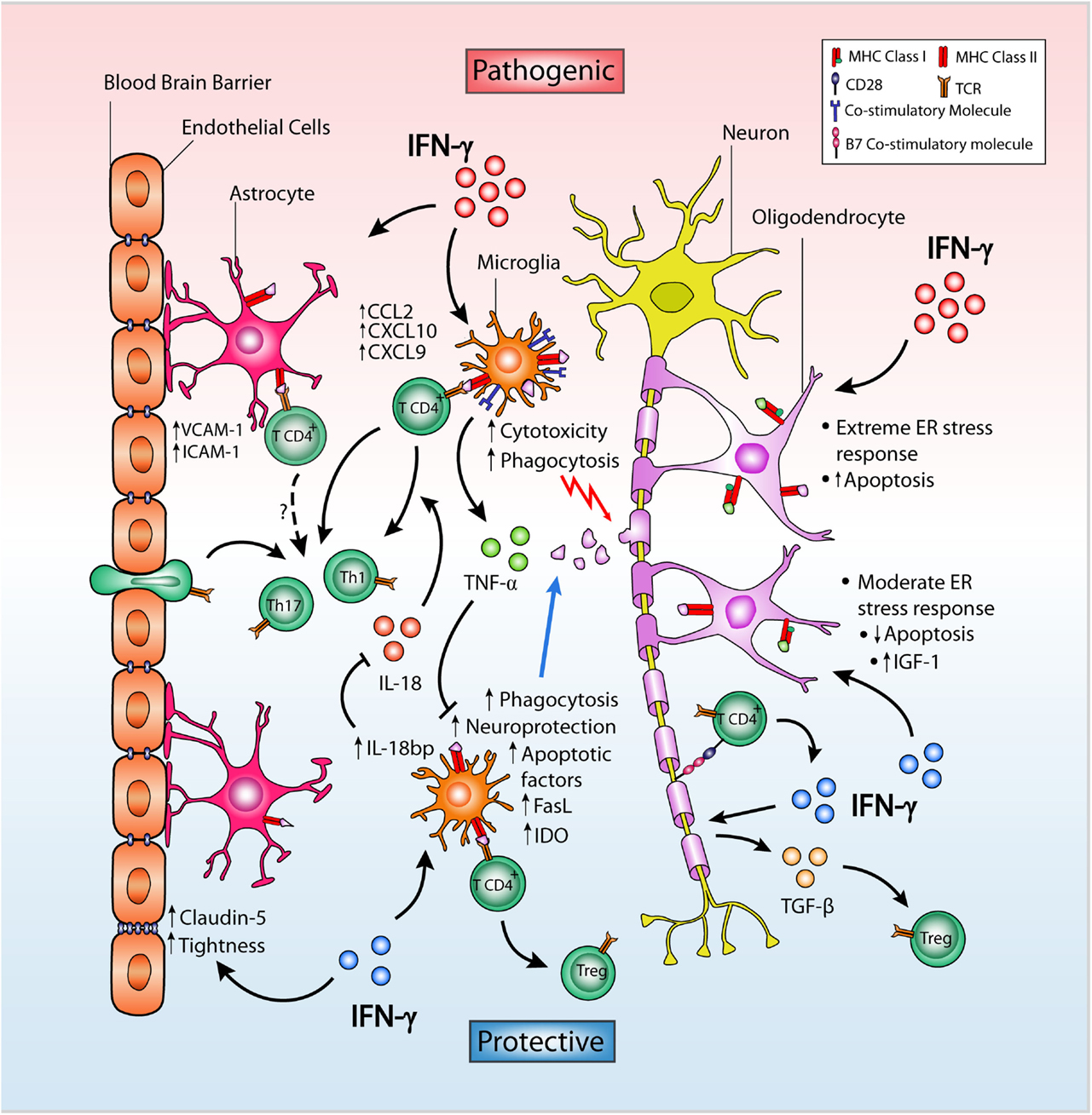 Opposing Roles Of Interferon-Gamma On Cells Of