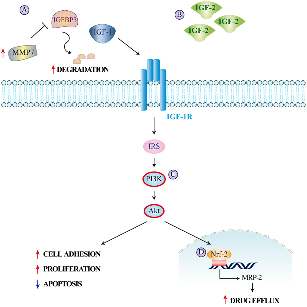 Frontiers The Insulin Igf System In Colorectal Cancer Development And Resistance To Therapy Oncology