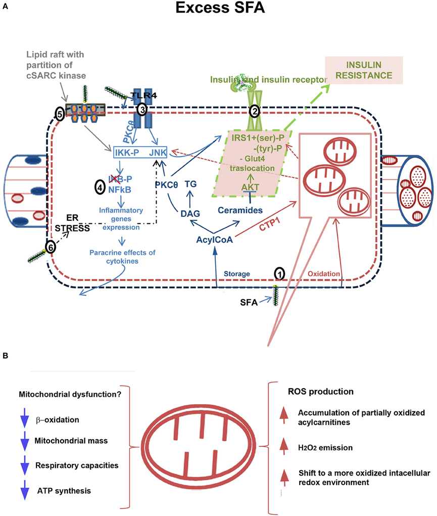 Mechanism of insulin resistance in adipocytes of rats fed a high-fat diet.