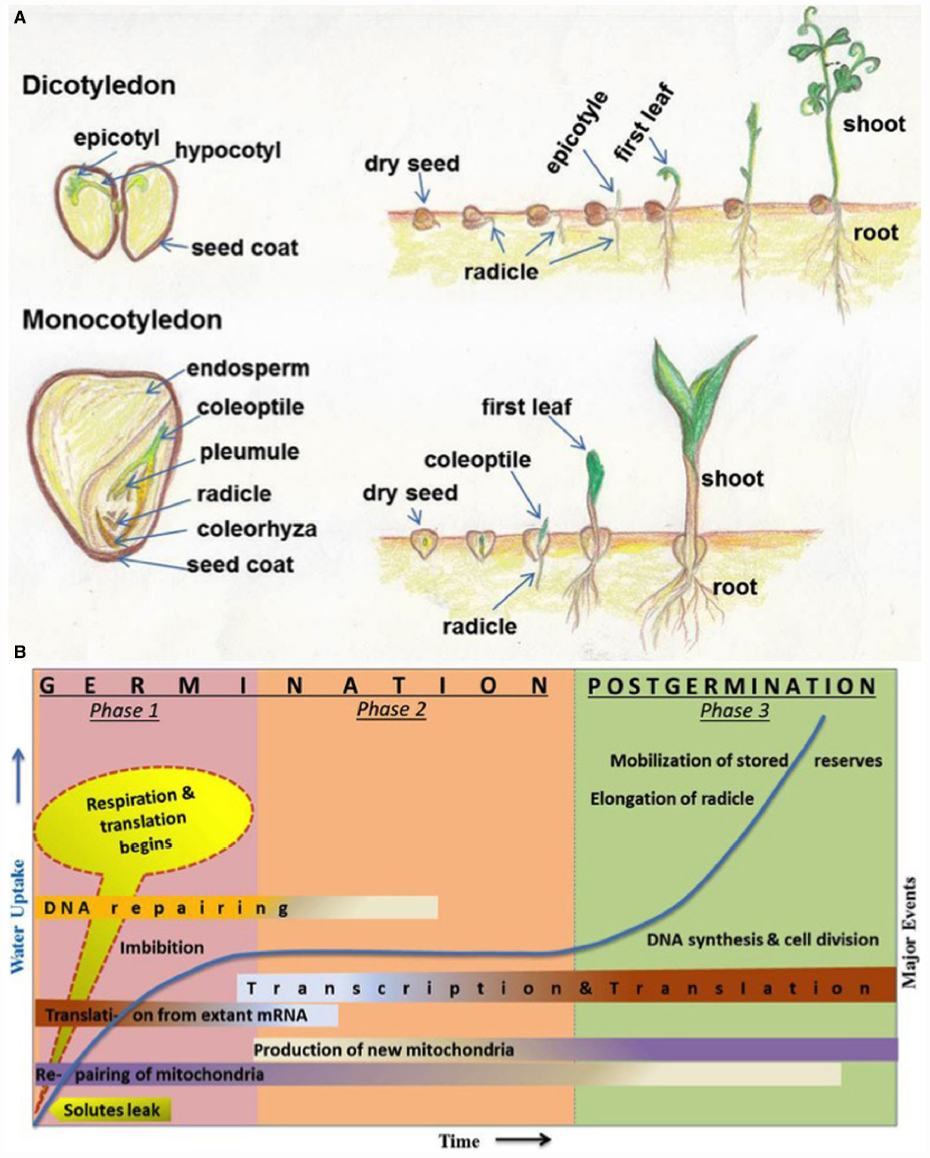 What are the 2 stages of protein synthesis
