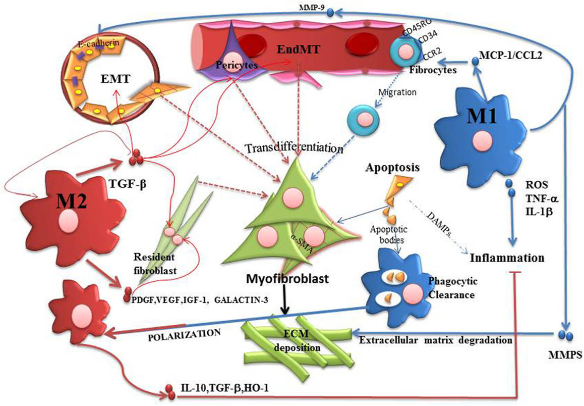 Frontiers Macrophages During The Fibrotic Process M2 As