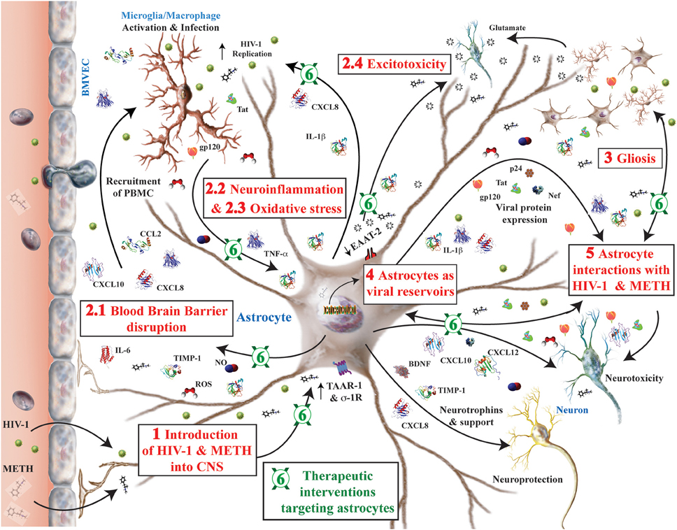 Frontiers | HIV-1, methamphetamine and astrocytes at