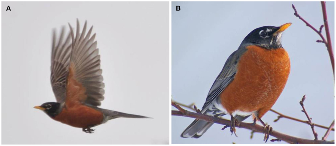"Figure 2 - When you read the sentence, ""The ranger saw the bird in the sky,"" which picture is closer to how you imagined it, the flying bird (A) or the sitting bird (B)?"