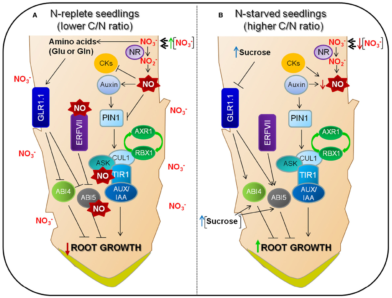 Frontiers Control Of Seed Germination And Plant Development By Foot Massage Diagram