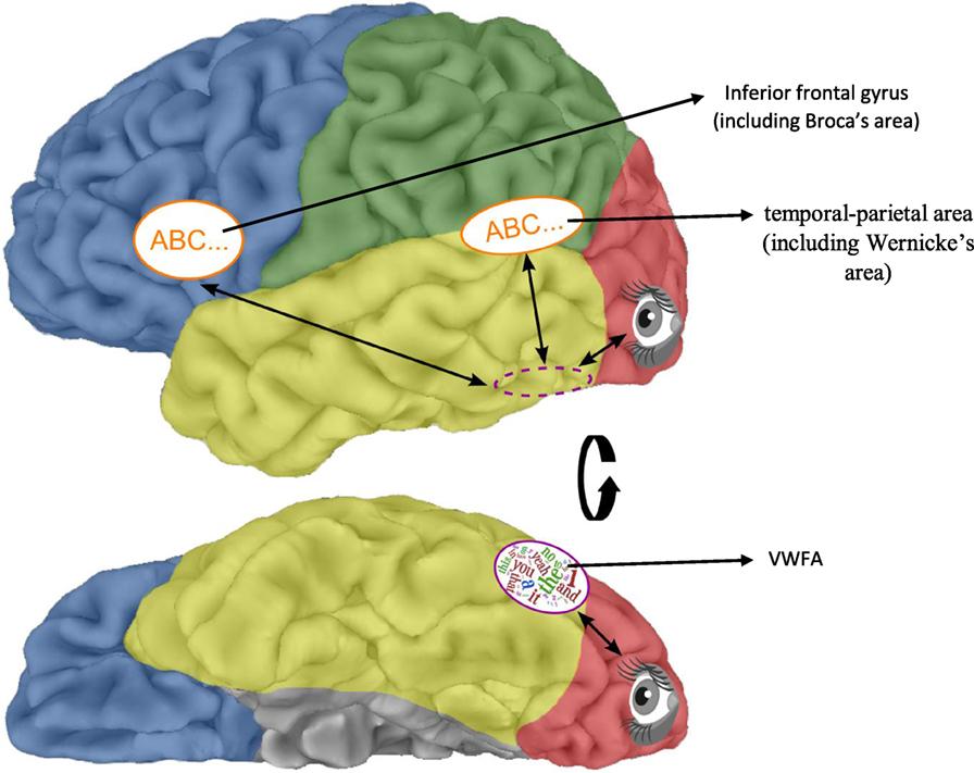 איור 2 - אזורי המוח המעורבים בקריאה.