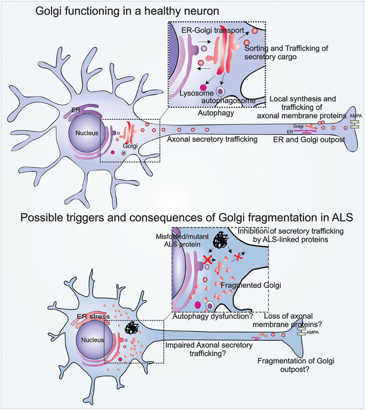 Frontiers | Golgi fragmentation in amyotrophic lateral ...