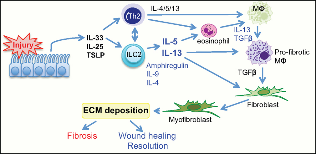 Image result for wound healing skin and IL-33