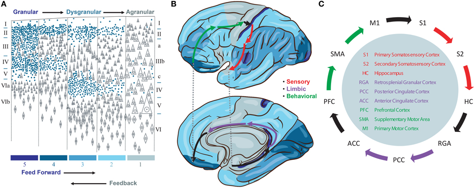 Frontiers Closed Loop Brain Model Of Neocortical Information Based