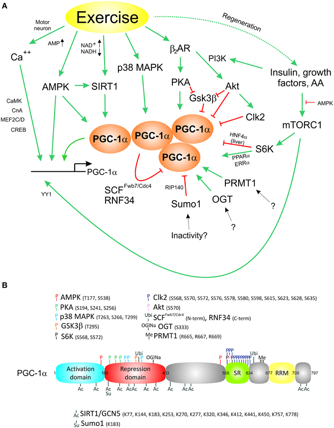 Frontiers Complex Coordination Of Cell Plasticity By A Pgc 1