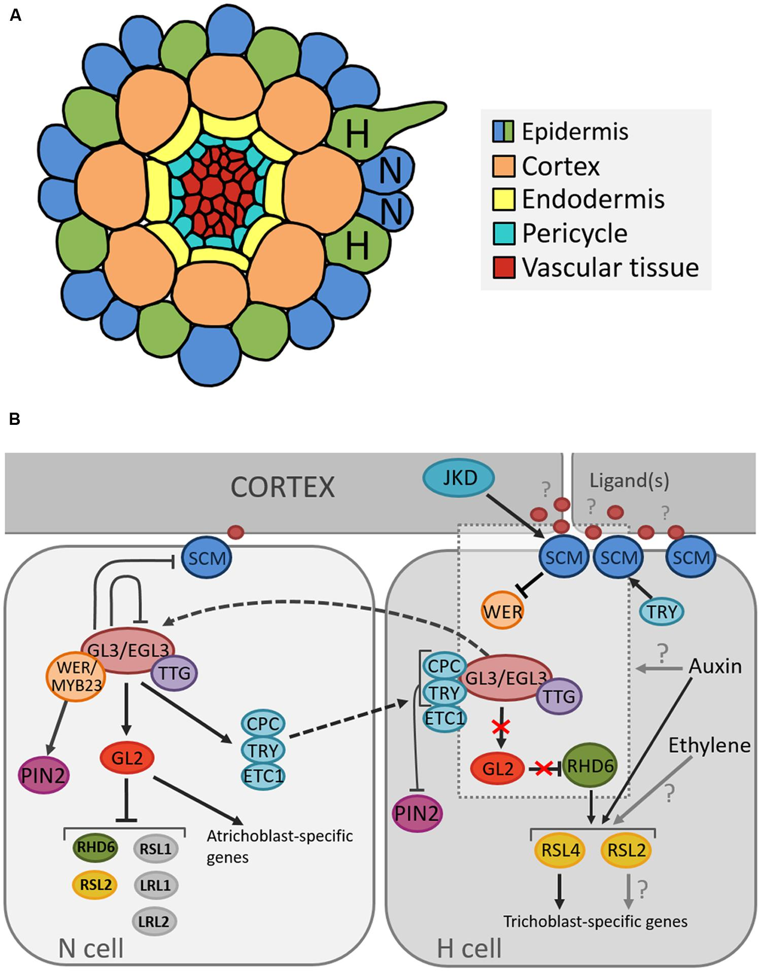 Frontiers cell fate determination and the switch from diffuse frontiersin publicscrutiny Choice Image