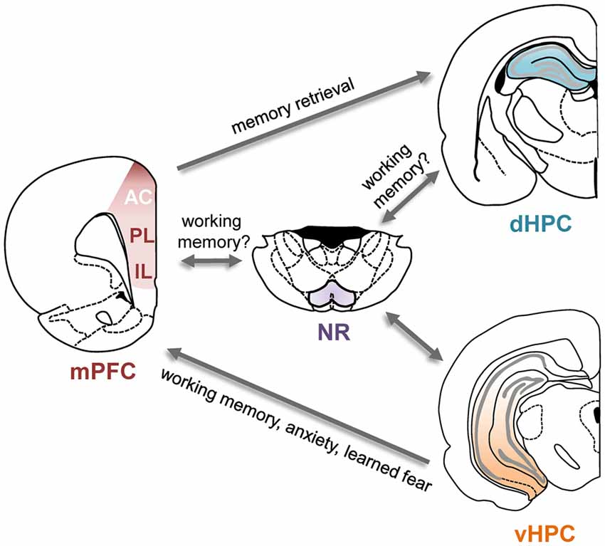 Frontiers | Hippocampal-Prefrontal Interactions in Cognition ...
