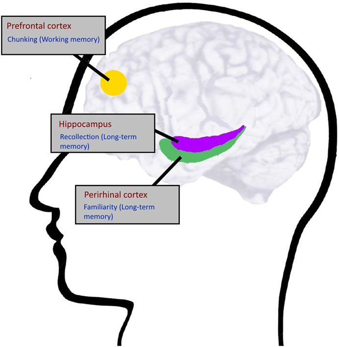 Figure 1 - Schematic drawing of important brain regions supporting working memory (prefrontal cortex) and long-term memory (hippocampus and perirhinal cortex).