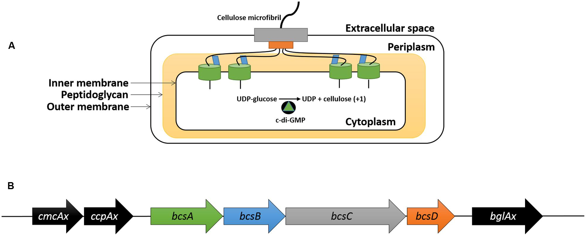 thesis + cellulase production Production of cellulase enzyme using specific media and its extraction - electrophoresis and chromatographic techniques (yassien et al , 2014) physico-chemical characterization of the obtained cellulase enzyme (ph optima.