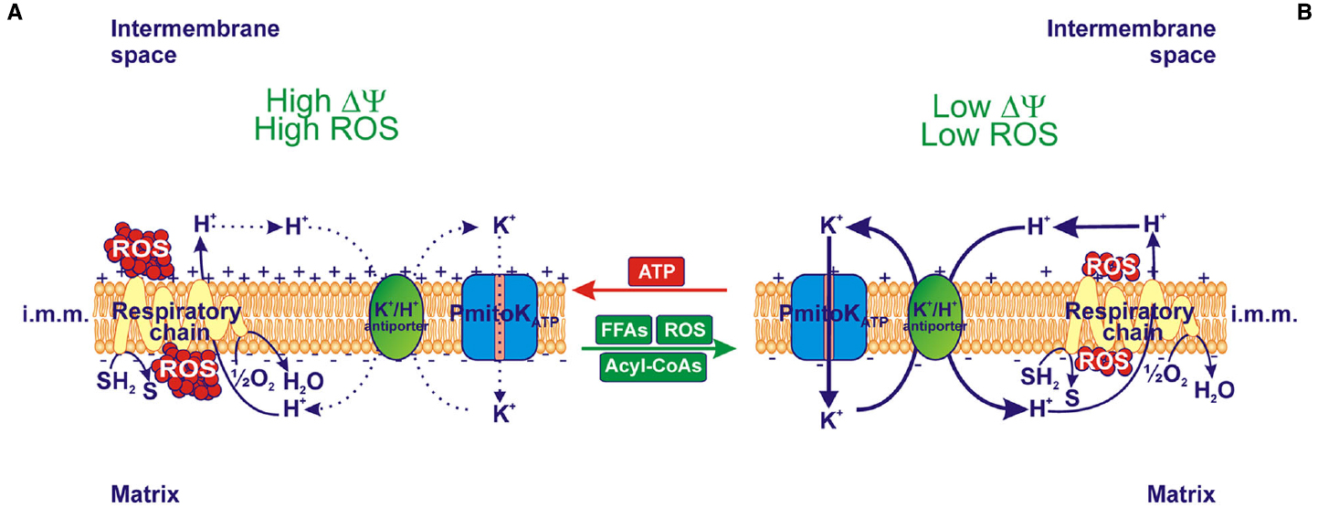 Frontiers Modulation Of Potassium Channel Activity In