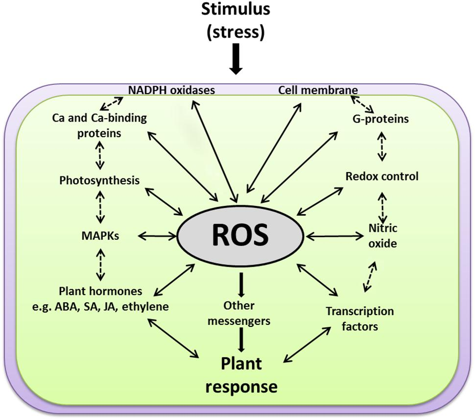 reactive oxygen species ros production Reactive oxygen species (ros) are small, highly reactive, oxygen–containing molecules that are naturally generated in small amounts during the body's metabolic reactions and can react with and damage complex cellular molecules such as fats, proteins, or dna.