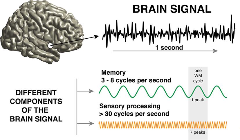 איור 1 - רישומים ממוח אנושי.