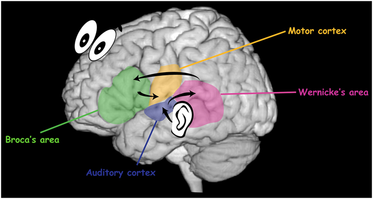 Figure 4 - Organization of speech in the brain.