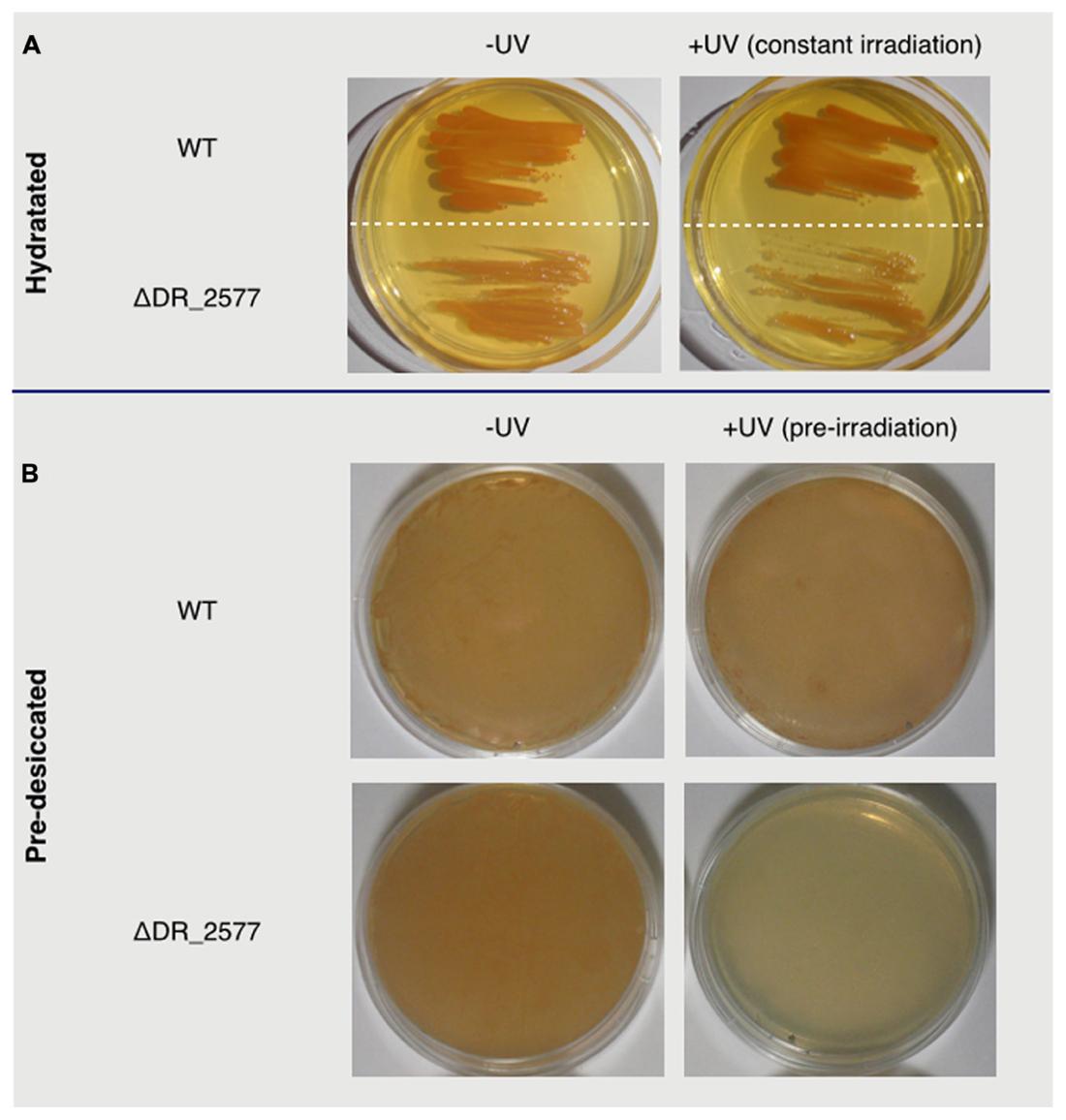 Uv radiation on organisms essay