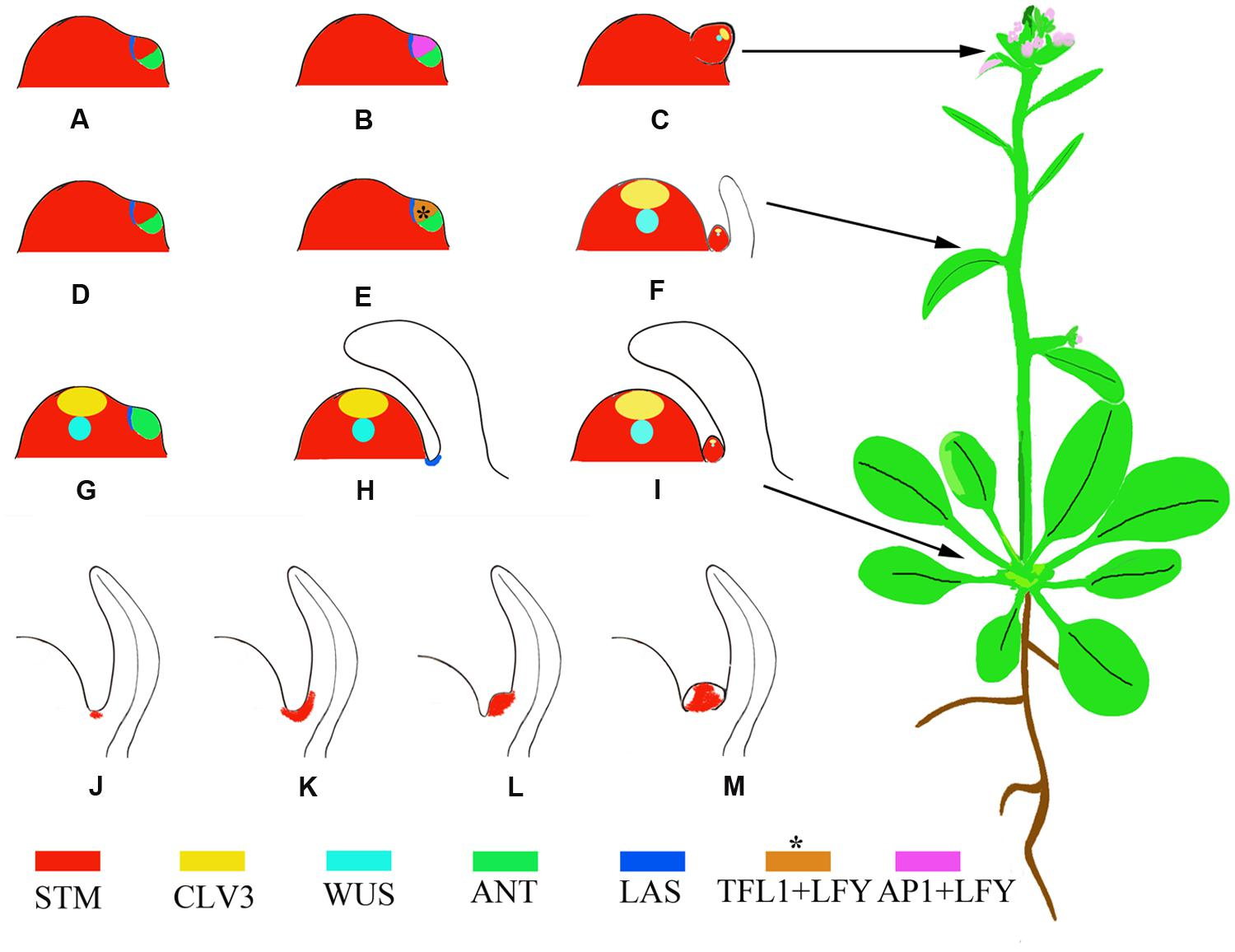 Frontiers Regulation Of Axillary Meristem Initiation By