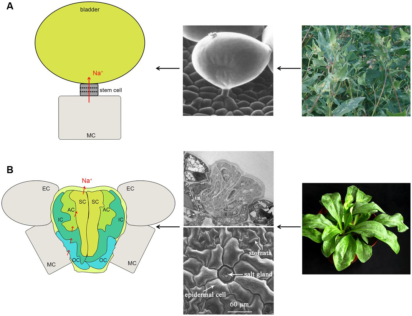 Frontiers Progress In Studying Salt Secretion From The Glands Animal Cells Moreover Carbon Cycle On Plant And Cell Diagram