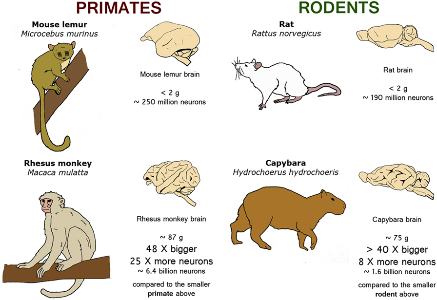 Figure 2 - Nature has different ways of adding neurons to primate and rodent brains as they change in size from one species to another.
