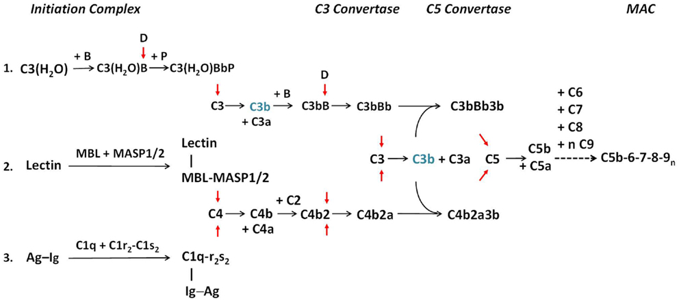 The Complement System Concept Map.Frontiers Early Components Of The Complement Classical Activation