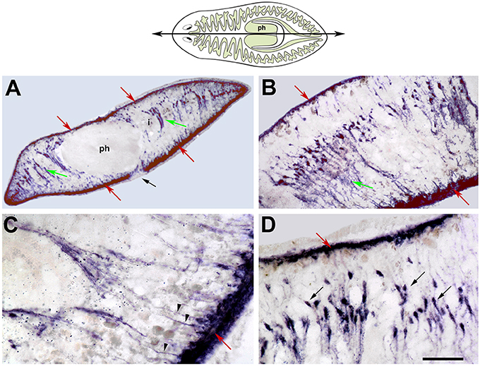 Frontiers Planarian Body Wall Muscle Regeneration And Function