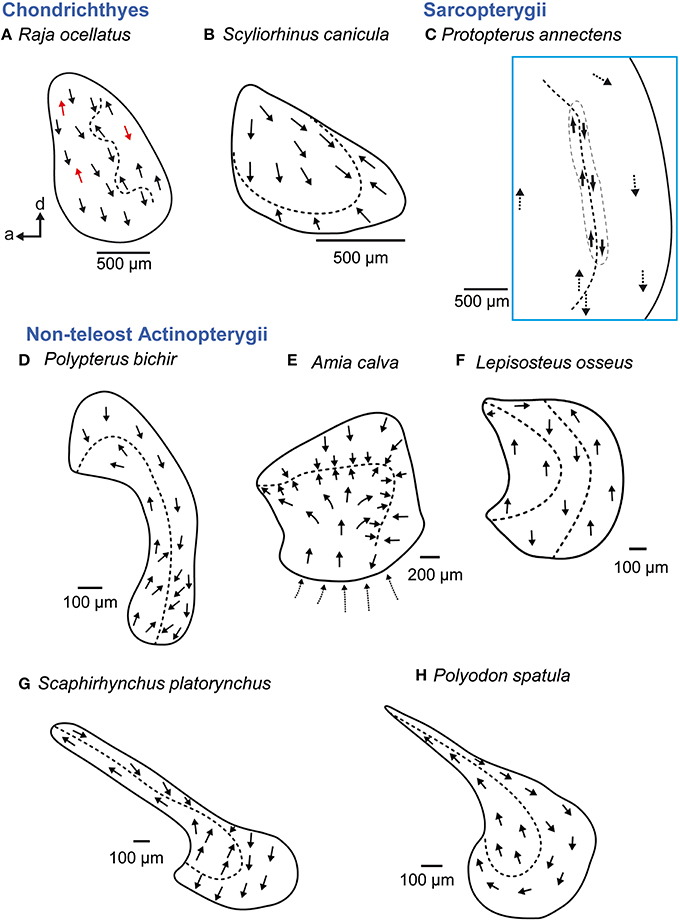 Frontiers | Diversity in Fish Auditory Systems: One of the